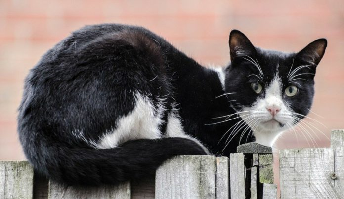A black and white cat sits on a fence in front of a brick wall.