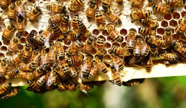 Honeybees making honeycomb.