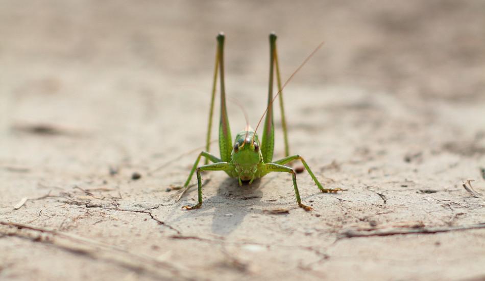 A locust sitting on the dry ground.