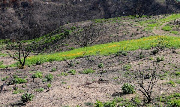 Green grass regrowth after forest fire.