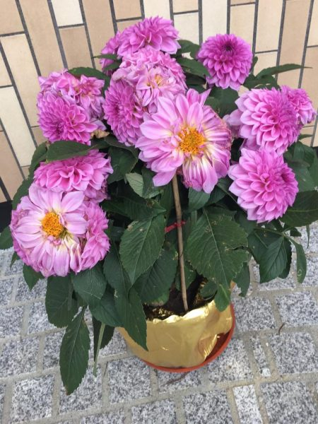 Chrysanthemums-with a golden pot-a symbol of hope on Chinese New year in Naibia.