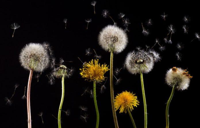 The poem: Stars and Dandelions, by Misuzu Kaneko