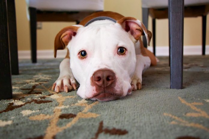 A dog with white face and brown ears lies on the carpet under a table.