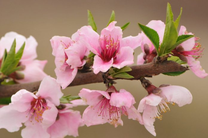 Peach blossom is considered lucky for those born in the Year of the Ox. Yea