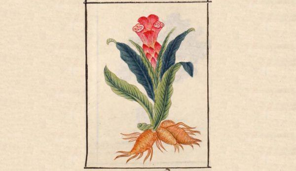 """Illustration of a plant as found in Li Shizhen's """"Compendium Materia Medica""""."""