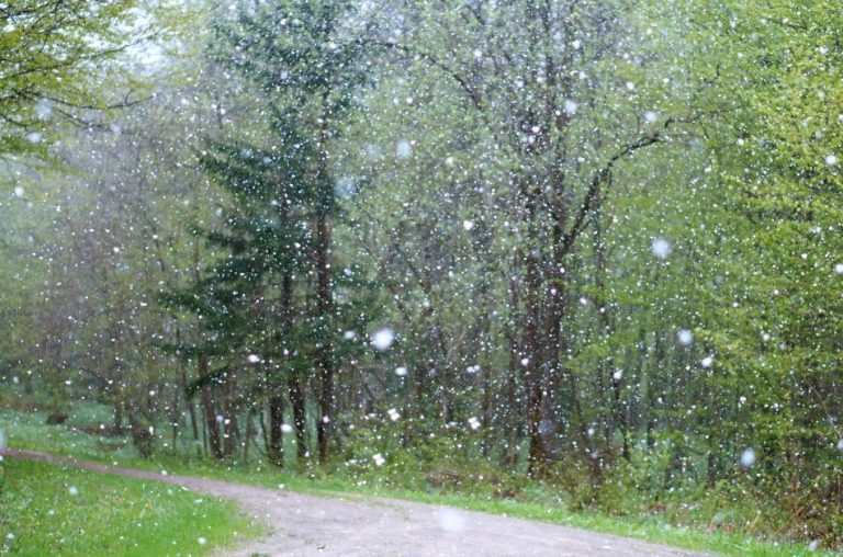 Trees and grass beside a rock road during a late spring snowstorm.