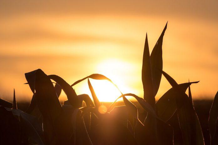 Grass on farm with bright sun setting.