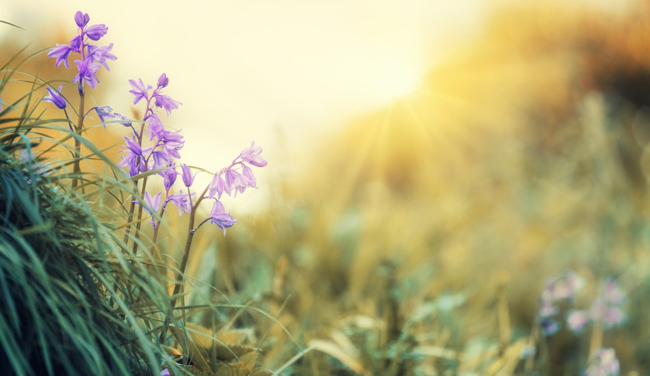Close up of purple flowers growing in the green grass with yellow sunlight streaming in from behind.