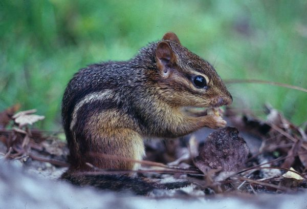 Eastern Chipmunk The Eastern chipmunk is a small rodent in the Family Sciuridae that can reach a body length of 12 inches (29.9 centimeters). Eastern chipmunks have white and black stripes running down the back side of their body.