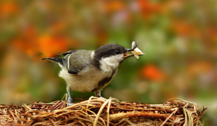 A bird perched on its nest with seeds in its beak.