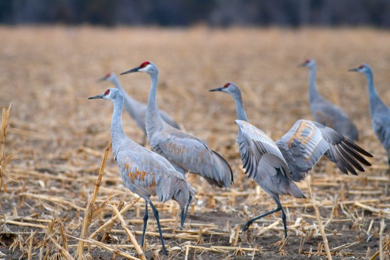 Sandhill cranes in a field.