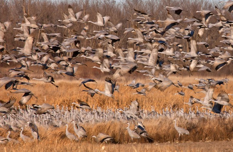 A flock of Sandhill cranes.