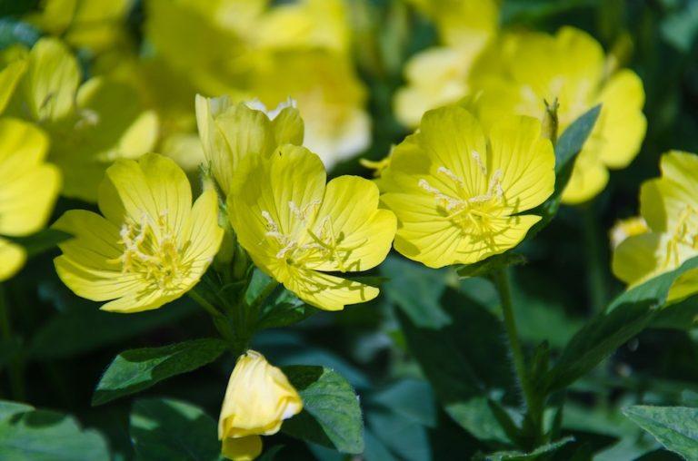 yellow evening primrose flower in bloom