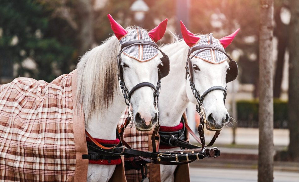 Two beautiful white fiaker carriage horses on the streets of central Vienna, Austria.