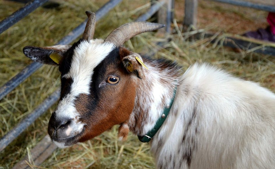 A goat with a green collar and yellow ear tags in a pen full of straw.