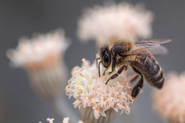 One of anti-aging secrets pertains to bee venum.