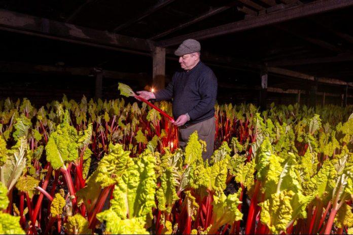 forced-rhubarb