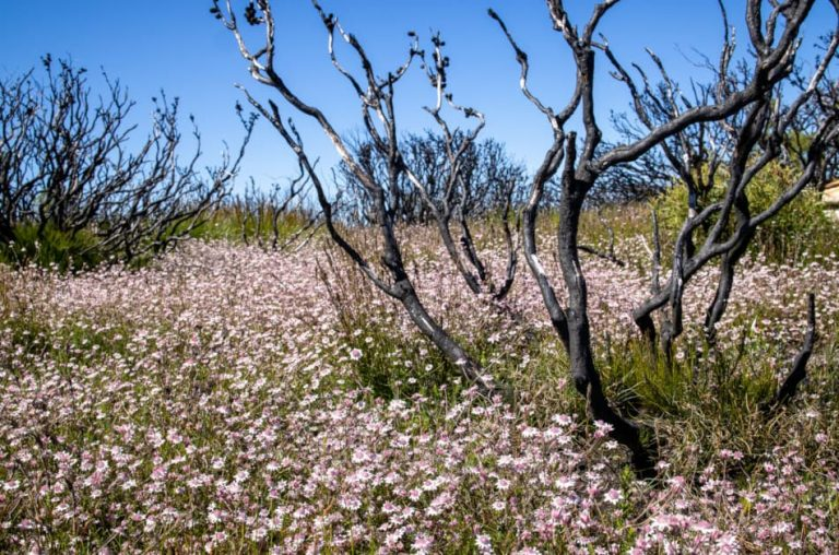 A sea of pink flannel flowers in Australia's Blue Mountains.