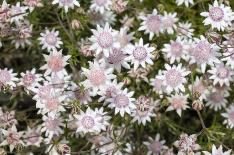 Close up of pink flannel flowers.