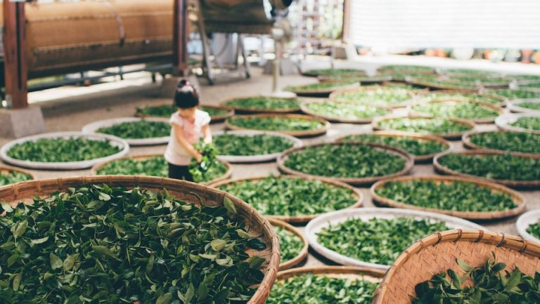 girl surrounded by many baskets of green tea leaves
