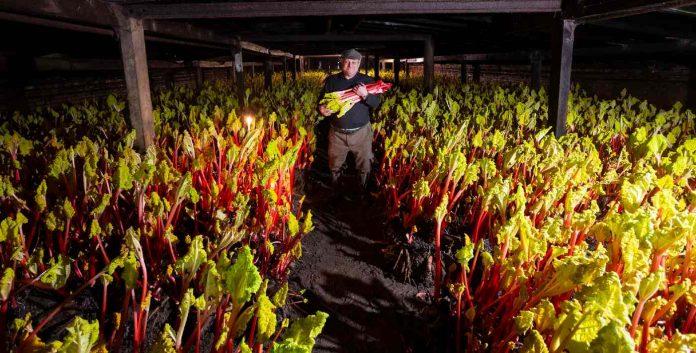 winter-forced-rhubarb