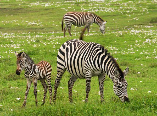 baby zebra and mum