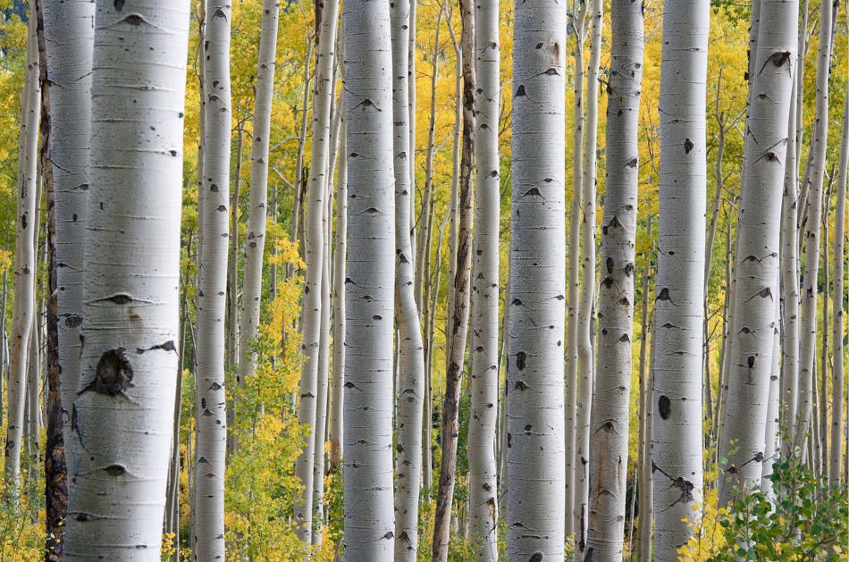 The white trunks of a clump of birch trees seen through fall foliage in the woods.
