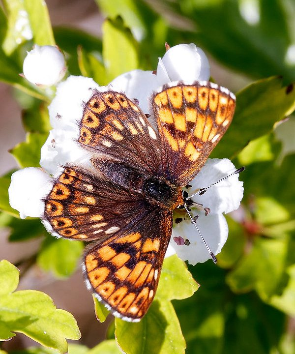 Duke of Burgundy butterfly sitting atop a white flower.