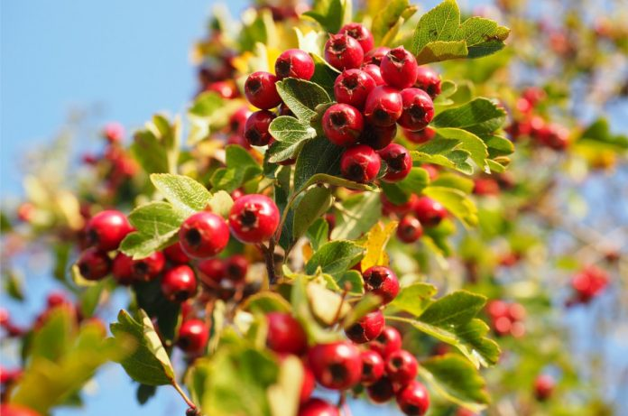 Bright red hawthorn berries with green foliage seen against the blue sky.