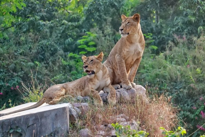 Lioness on rocks