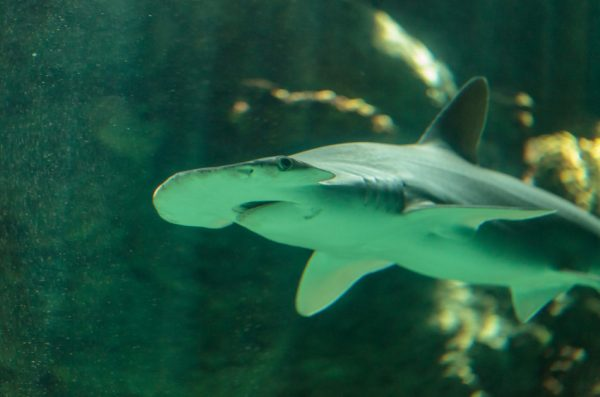 Researchers studied bonnetheads, the smallest of the hammerhead sharks.