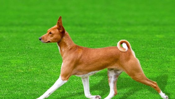 The DNA sequence of a Basenji named 'China' (pictured) could have a big impact on the understanding of dog evolution, domestication, and canine genetic diseases.
