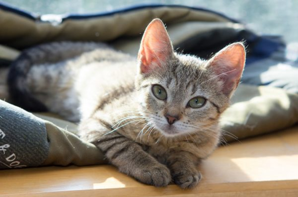 A cute gray tabby cat lying on a blanket on a wooden surface.