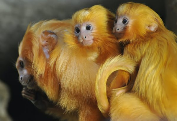 two baby golden lion tamarins on their mothers back all of them have this beautiful reddish orange hair color