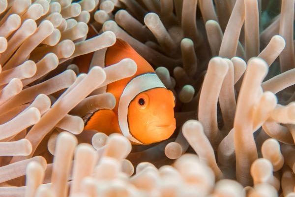 orange clownfish with white and black stripes hides in an light brown cluster of sea anemones