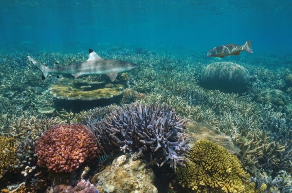 Colorful coral reef underwater with a blacktip reef shark and a coral trout grouper, Pacific Ocean.