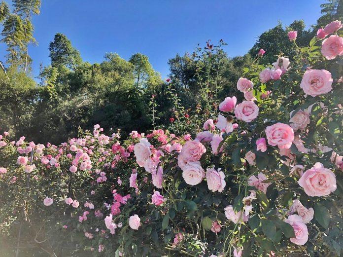 Rose Hill's spectacular rose garden.
