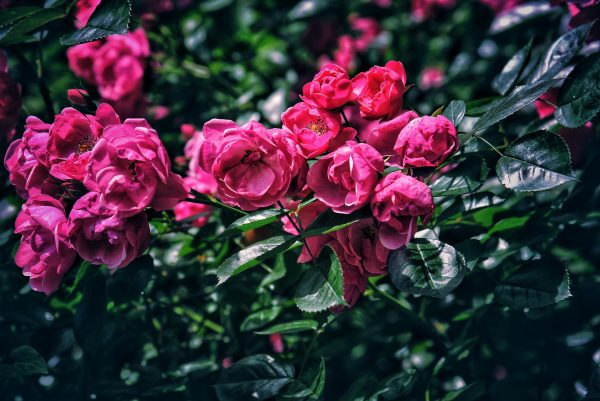chinese_rose