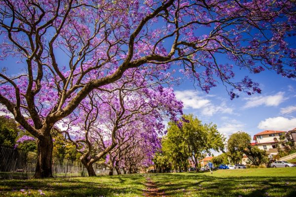 bright purple flowers of a large jacaranda tree blue sky and suburban houses in the background