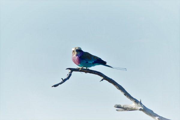 Lilac Breasted Roller, Tanzania, East Africa.