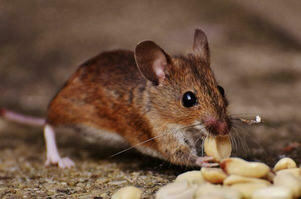 A mouse eating grain.