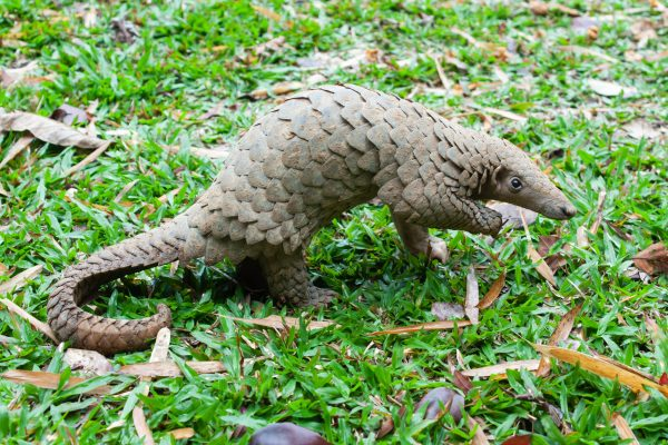 Primarily nocturnal animals, pangolins are easily recognized by their full armor of scales.