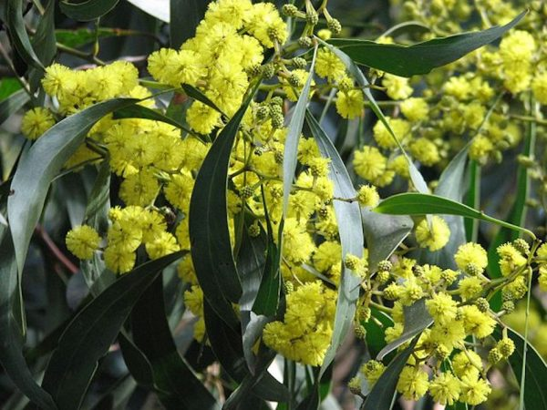 Acacia pycnantha also known as Golden Wattle has golden yellow ball flowers with thick strap like long leaves. This variety was chosen to represent Australia.