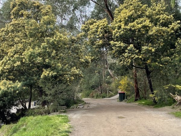 The walking path that divides the Warrandyte Bakery and the Yarra River has Acacia flowering trees and shrubs some have golden yellow coloured flowers others have cream colourings.