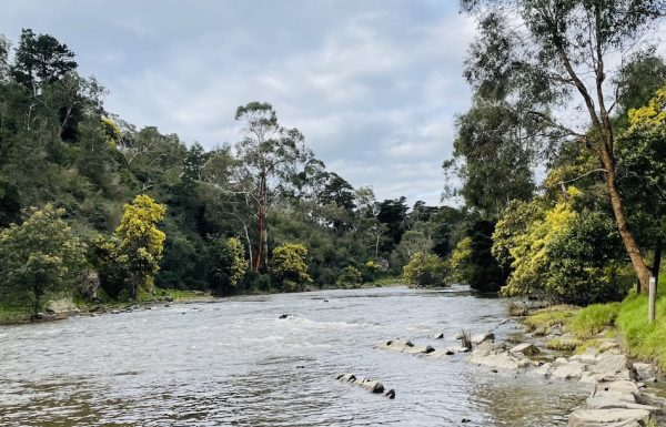 The Wattle trees showing a colour of yellow on both sides of the Yarra riverside. Rapids and rocks in the river complement the Eucalyptus trees and Acacia flowering trees.