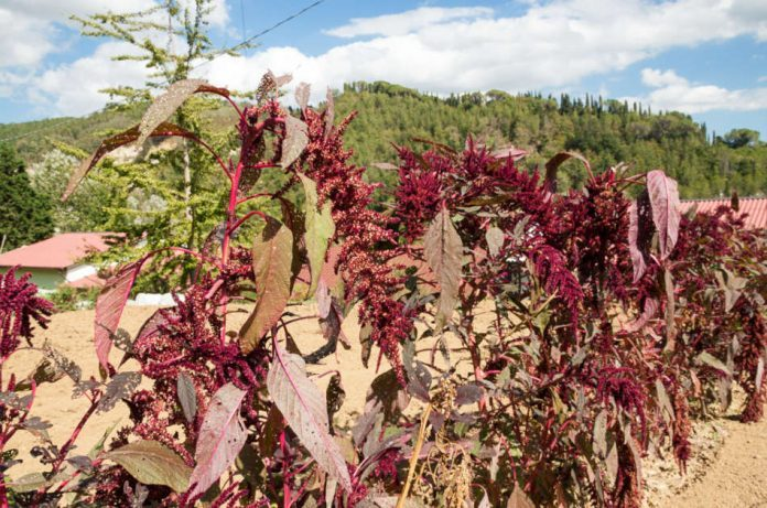 A row of amaranth growing in a plot of land.