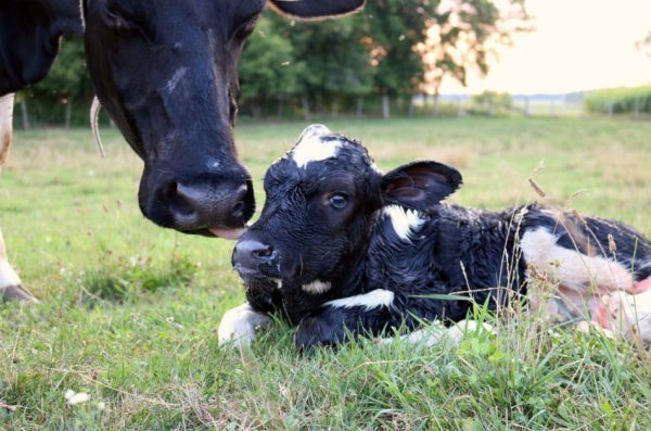 Closeup of the head of a Holstein cow tenderly cleaning her brand new calf only minutes old laying in the grass.