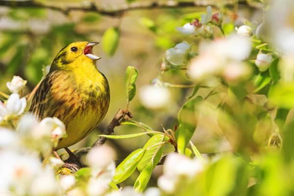 song_bird