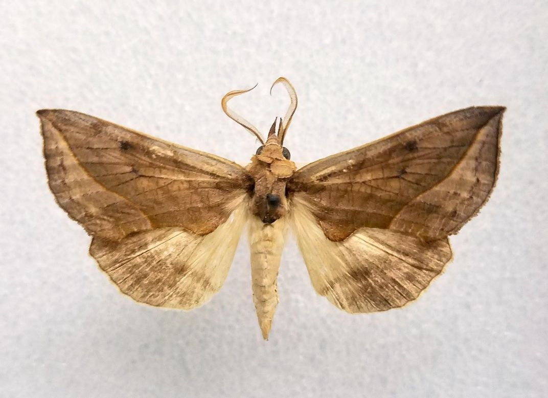 Vampire moths are named for their ability to suck the blood of mammals.