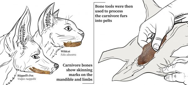 Carnivores were skinned for fur and bone tools were then used to prepare the furs into pelts.